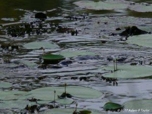 Platypus amongst the lillies